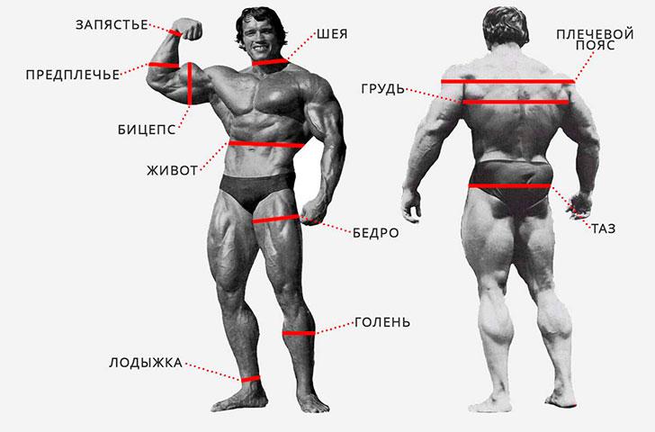 В каком месте производить замеры мышц